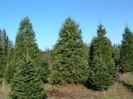 douglas fir tree seeds tree seed ebay