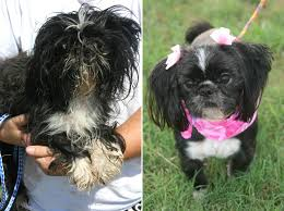 affenpinscher good bad doggie makeovers reveal shelter pets u0027 true happy selves today com