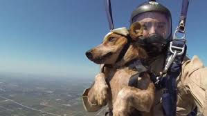 belgian shepherd special forces special forces soldiers and their dogs take part in tandem