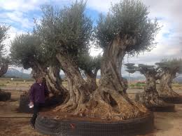 ancient gnarled olive tree for sale available to order olive