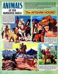 afghan hound of america uk print archive the wonderful world of disney 014 tgmg cbz ukpa