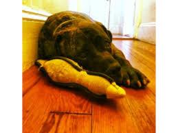 dog euthanasia dramatic courtroom session tackles dog euthanasia