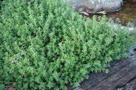How To Save A Dying Plant Growing Thyme Bonnie Plants
