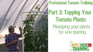 topping tomato plants easy pvc tomato trellis part 3 youtube