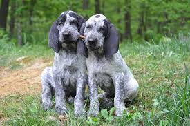 bluetick coonhound puppies for sale ukc forums lets get some blue tick pictures up here