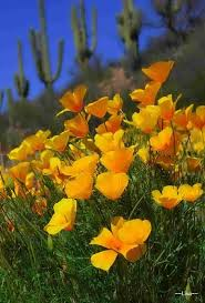 plants native to arizona 81 best wildflowers images on pinterest wildflowers arizona and