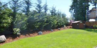pine trees for backyard landscaping strigenz backyard looking