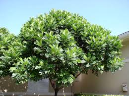 japanese fern tree outside the fitness center in jonathan u0027s