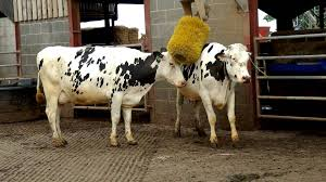 friesian dairy cows youtube