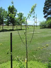 i six foot honeycrisp apple trees i planted as bare root trees