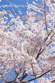 cherry blossom tree celebrate creativity