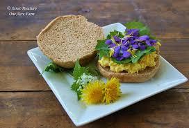 native edible plants foraging garlic mustard an edible invasive plant