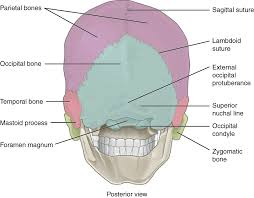 Anatomy And Physiology Labeling The Skull Anatomy And Physiology