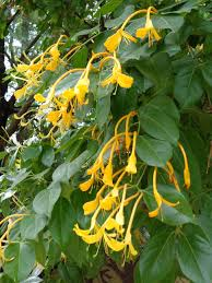Tropical Fragrant Plants Lonicera Hildebrandiana The Giant Burmese Honeysuckle From Burma