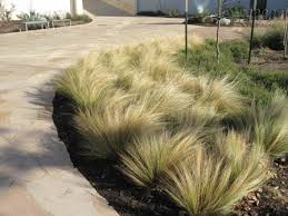 drought resistant mexican feathergrass gardening