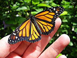 52 best butterflies images on butterflies butterfly