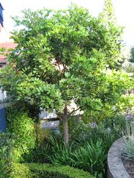 australian native screening plants plant of the month tuckeroo secret gardens sydney landscape
