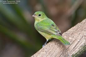 Oklahoma birds images Oklahoma little green bird help me identify a bird whatbird jpg