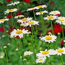29 best every kind of flower ever images on pinterest daisy