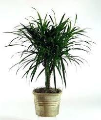 best low light indoor trees indoor tree plants low light houseplants to improve indoor air