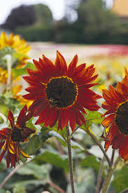 13 unexpected sunflower colors hgtv