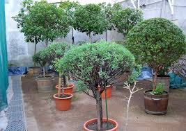 topfpflanzen balkon kübelpflanzen überwintern balkon terrasse gärtner tipps