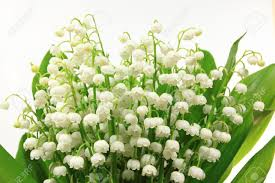 of the valley flower of the valley flowers convallaria majalis flower bunch