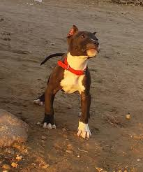 american pitbull terrier 1 a 3 ways to train a pit bull wikihow