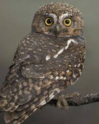 elf owl audubon field guide