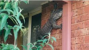Backyard Reptiles It U0027s Just Another Day In Australia When You Find A 5ft Goanna