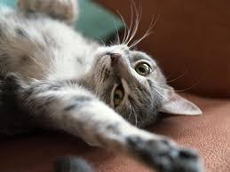 how long is a female cat u0027s heat estrus cycle