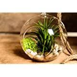 amazon com hinterland trading air plant tillandsia bromeliads