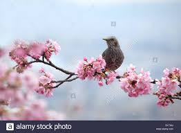 cherry blossom tree cherry blossom tree birds on stock photos u0026 cherry blossom tree
