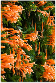 87 best thai flowers images on pinterest flowers plants and
