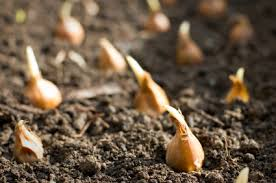 can i still plant spring flowering bulbs now plantpassion