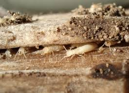 Winged Termites In Bathroom Best Ways To Get Rid Of Flying Termites Winged Termites
