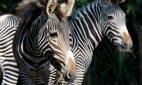 grevy u0027s zebra smithsonian u0027s national zoo