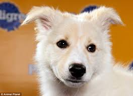 australian shepherd mixed with chihuahua terrier fumble comes out on top at puppy bowl viii but was