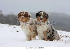 australian shepherd vs brittany two australian shepherd puppies sitting stock photos u0026 two