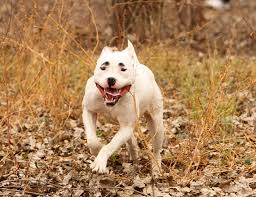 land of giants american pitbull terriers what they don u0027t tell you about owning a pit bull or four of