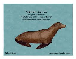 sea lion california