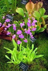 native water plants carnivorous plants this bladderwort is utricularia longifolia a
