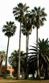 mexican fan palm growth rate the mexican fan palm washingtonia robusta botany boy