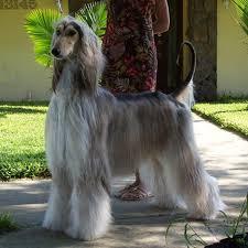 afghan hound grooming styles afghan hound afghan hounds b pinterest afghan hound afghans