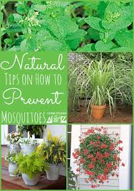mosquito plants how to prevent mosquitoes home stories a to z