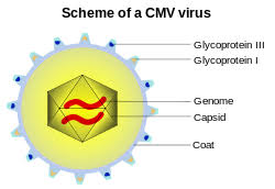in some viruses the capsid is surrounded by a phospholipid