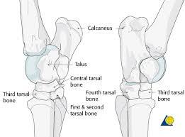 Anatomy Of The Calcaneus Ao Surgery Reference