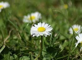 file daisies focus jpg wikimedia commons