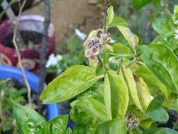 basilico in vaso malattie basilico pianta ortaggi basilico pianta orto