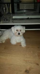 2 month old bichon frise 50 shades of bichon part two the inspiration edit